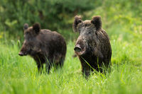 Two fierce wild boars standing together in wilderness in summertime.