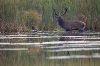 Rothirsch in einem Teich