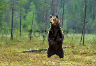 Eurasian brown bear standing on hind legs