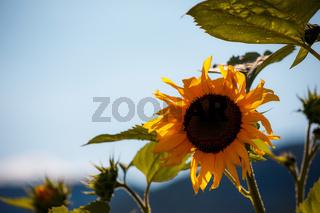 Sun flower close up background