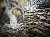 Trockene Rinde eines alten Baum