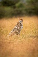 Cheetah sitting in long grass facing camera