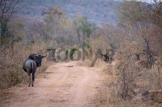 Blue wildebeest standing in the road.