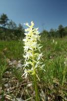 einzelne Orchidee