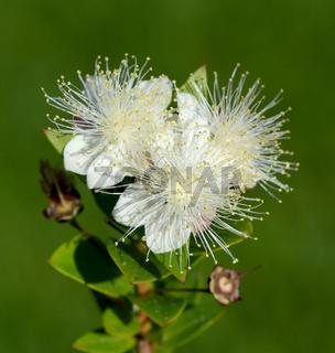 Myrte, Myrtus, communis, Balsam