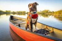 canoe paddling with pit bull dog