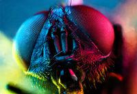 Colorful Eyed Crane Fly