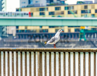 A seagull sits on the banks of the Rhine in Cologne.