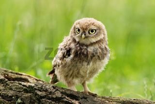 Little owl juvenile perching on a tree log