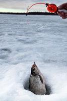 Fish bream in the snow