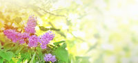 flowers of lilac tree