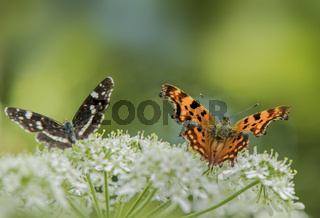 Landkärtchen 'Araschnia levana' und C-Falter 'Polygonia C-album'
