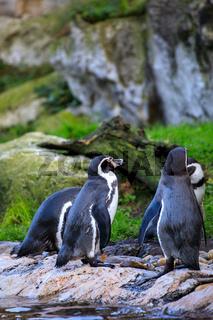 penguin portrait closeup in the nature