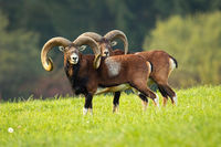 Two impressive mouflon rams with long horns standing close together on meadow