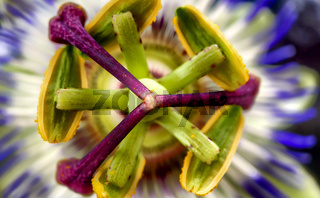 Close up of Exotic Passion flower, Passiflora caerulea