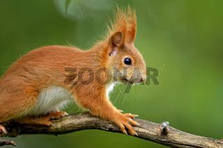 Juveniles  Eichhörnchen
