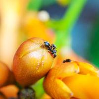 Ameisen auf der Blüte einer Trompetenblume