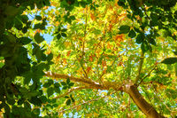 Branches of trees with green leaves - foliage background