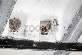 Schwalben schauen aus dedm Nest