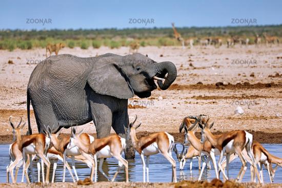 Elefant am Wasserloch, Etosha-Nationalpark, Namibia, (Loxodonta africana) | elephant at the waterhole, Etosha National Park, Namibia, (Loxodonta africana)