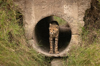 Cheetah cub standing in pipe staring out