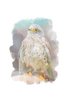 Digitally drawing (watercolor style) of common kestrel