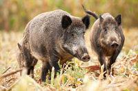 Cute wild boar family grazing on the mown corn field