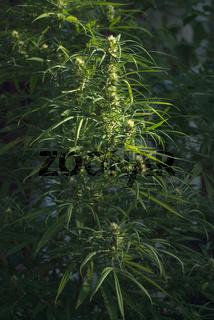 Marijuana is grown for medical purposes, Uruguay