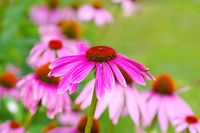 Purpur-Sonnenhut - Purple coneflower, nice pink summer flower
