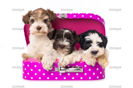 Three puppies in a suitcase