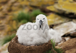 Black-browed Albatross chick sitting in the nest