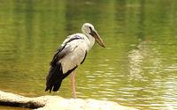Open billed stork, Anastomus oscitans, Ranganathittu Bird Sanctuary, Karnataka, India