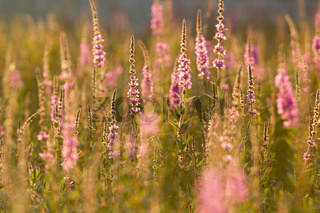 Field of pink wildflowers on green grass at summer sunset