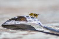 Wespe auf einem Löffel