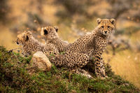 Cheetah cub sitting on mound with siblings