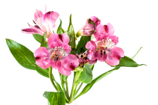 Pink flowers alstroemeria