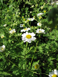 Blühendes Mutterkraut in einem Garten