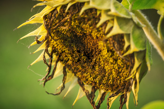 Faded sunflower