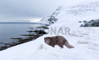 Arctic fox standing in the snow