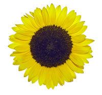 Sonnenblume freigestellt vor weißem Hintergrund