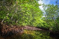 Mangrove in Nusa Lembongan island, Bali, Indonesia