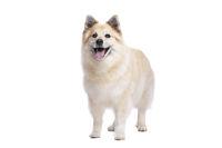 Icelandic Sheepdog or Icelandic Spitz