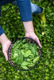 Gardner picking spinach in organic farm