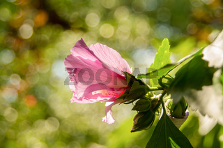 Chinese Hibiscus. Flower pink hibiscus. Chinese rose picture close up.