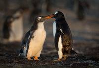 Gentoo penguin feeding its chick