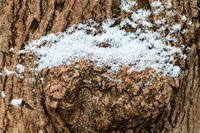 the first snow on trunk of old ash tree close up