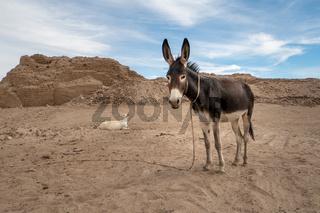 Esel auf einer sudanesischen Ausgrabungsstätte
