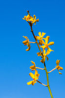 Yellow orchids in front of blue clear sky