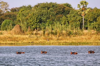 Hippos im Shire Fluss, Liwonde Nationalpark, Malawi, (Hippopotamus amphibius), | Hippos in Shire river, Liwonde National Park, Malawi, (Hippopotamus amphibius)