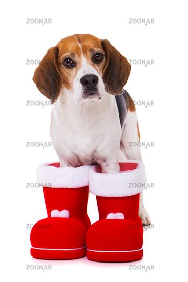 Adult beagle dog standing isolated on white background